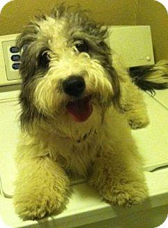 Poodle (Miniature)/Wheaten Terrier Mix Dog for adoption in Sedona, Arizona - Bellarosa