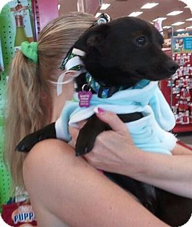 Chihuahua/Miniature Pinscher Mix Dog for adoption in Encinitas, California - Mokie