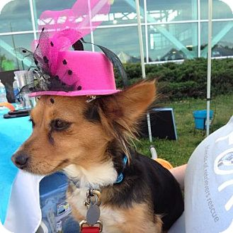 Papillon/Dachshund Mix Dog for adoption in Knoxville, Tennessee - Pippa