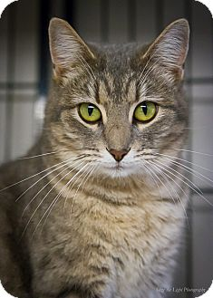 Domestic Shorthair Cat for adoption in Bulverde, Texas - Baby
