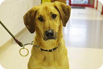 Hound (Unknown Type)/German Shepherd Dog Mix Dog for adoption in Elyria, Ohio - Bubba