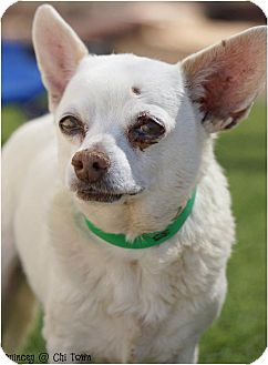 Chihuahua/Terrier (Unknown Type, Small) Mix Dog for adoption in Phoenix, Arizona - Quincy