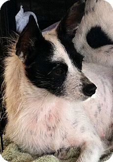 Fox Terrier (Wirehaired) Dog for adoption in Homestead, Florida - Jenni