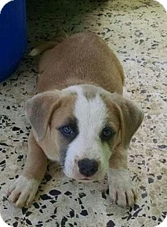 Australian Shepherd/Beagle Mix Puppy for adoption in Pennigton, New Jersey - Cranberry