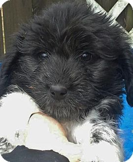 Border Collie/Terrier (Unknown Type, Medium) Mix Puppy for adoption in Briarcliff Manor, New York - Ready Fri., Mar. 6th
