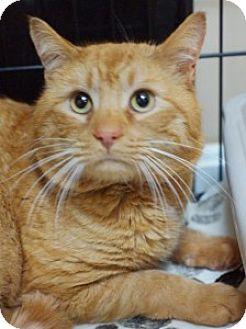 Domestic Shorthair Cat for adoption in Medford, Massachusetts - Maximus