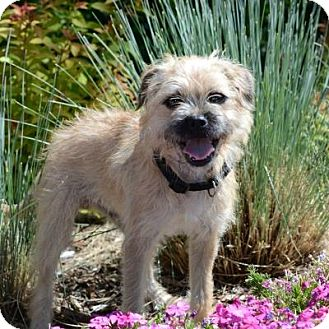 Terrier (Unknown Type, Small) Mix Puppy for adoption in Denver, Colorado - Scruffy
