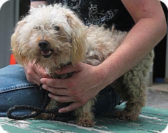 Poodle (Miniature) Dog for adoption in Marble, North Carolina - Kip