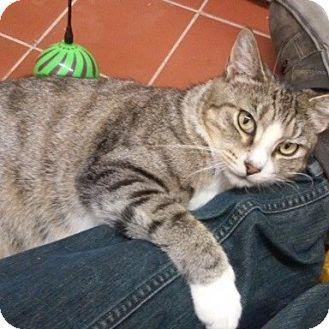 Domestic Shorthair Cat for adoption in Long Beach, New York - Sierra
