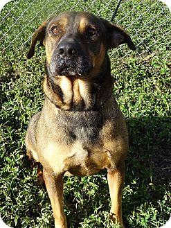 Hound (Unknown Type)/German Shepherd Dog Mix Dog for adoption in Brooksville, Florida - BO