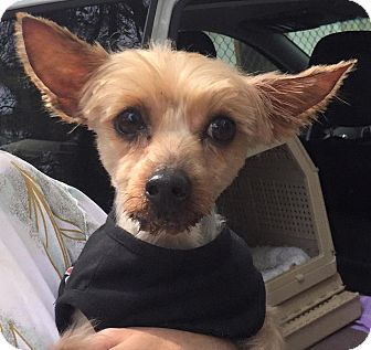 Yorkie, Yorkshire Terrier Mix Dog for adoption in Orlando, Florida - Sukl
