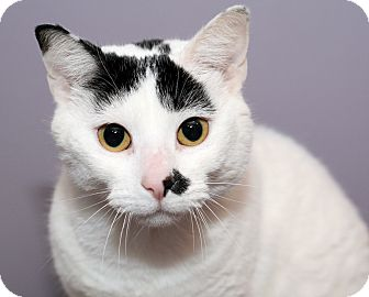 Domestic Shorthair Cat for adoption in Royal Oak, Michigan - MONROE