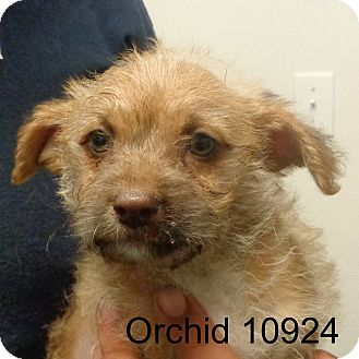 Schnauzer (Miniature)/Poodle (Toy or Tea Cup) Mix Puppy for adoption in Manassas, Virginia - Orchid
