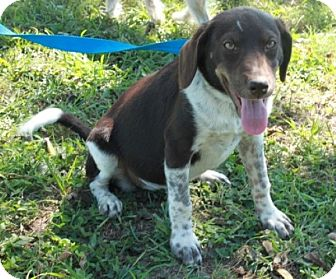 German Shorthaired Pointer Mix Puppy for adoption in Salem, New Hampshire - Hannah