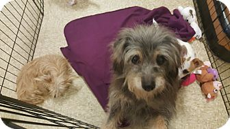 Terrier (Unknown Type, Small) Mix Dog for adoption in Brownsville, Texas - Sarah