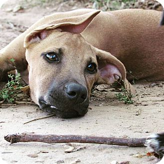 Shepherd (Unknown Type)/Hound (Unknown Type) Mix Puppy for adoption in Broken Arrow, Oklahoma - Gucci
