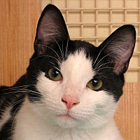 Domestic Shorthair Cat for adoption in Durham, North Carolina - Lucky Luke