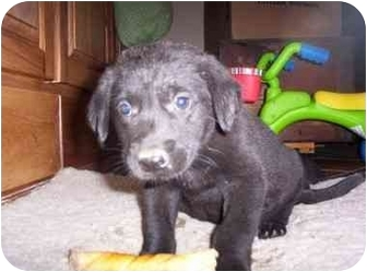 Labrador Retriever/Retriever (Unknown Type) Mix Puppy for adoption in Franklin, Virginia - Mickey