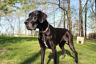 Great Dane Dog for adoption in Phoenixville, Pennsylvania - Molly