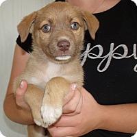 Adopt A Pet :: LA PUPS A - Corona, CA