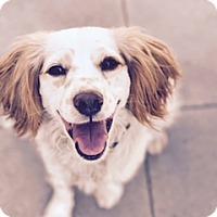 Adopt A Pet :: 'EVER' - Agoura Hills, CA