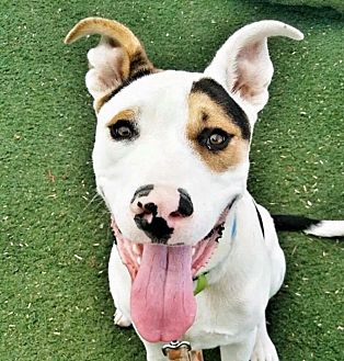 Pit Bull Terrier Mix Puppy for adoption in Las Vegas, Nevada - Bart