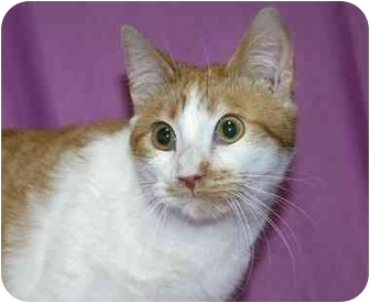 Domestic Shorthair Cat for adoption in Ladysmith, Wisconsin - Ike