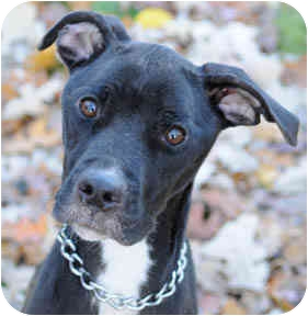 American Pit Bull Terrier Mix Dog for adoption in Chicago, Illinois - Faith