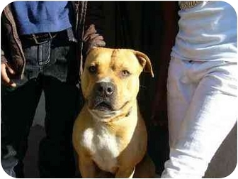 American Pit Bull Terrier Dog for adoption in San Francisco, California - Paul