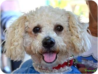 Poodle (Miniature) Mix Dog for adoption in Spring Valley, California - Francois