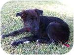 Australian Shepherd Mix Puppy for adoption in White Settlement, Texas - Tristan