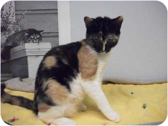 Domestic Shorthair Kitten for adoption in Modesto, California - Megan