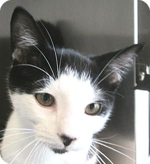 Domestic Shorthair Cat for adoption in South Haven, Michigan - Sheldon