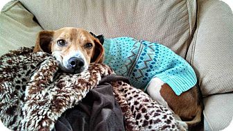 Beagle Dog for adoption in Loudonville, New York - Coltrane