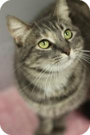 Domestic Mediumhair Cat for adoption in Gainesville, Florida - Shania