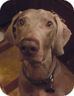 Weimaraner Dog for adoption in St. Louis, Missouri - Flash