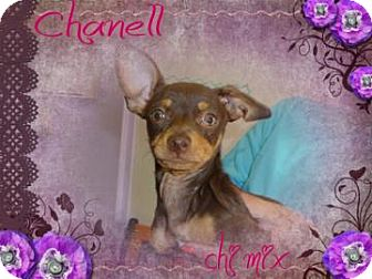 Chihuahua Mix Dog for adoption in Desert Hot Springs, California - Chanell