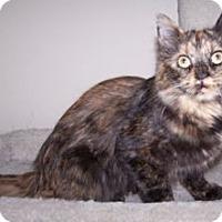 Adopt A Pet :: Munchkin - Colorado Springs, CO