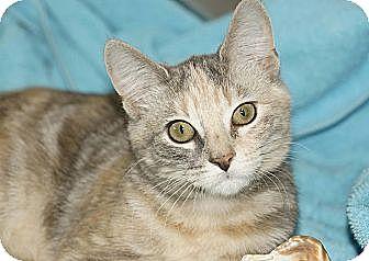 Domestic Shorthair Kitten for adoption in Berlin, Connecticut - Elsa & Anna