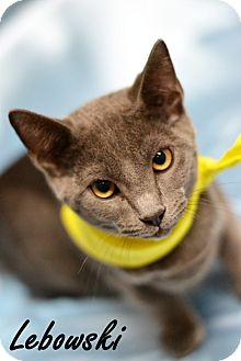 Russian Blue Kitten for adoption in Everman, Texas - Lebowski