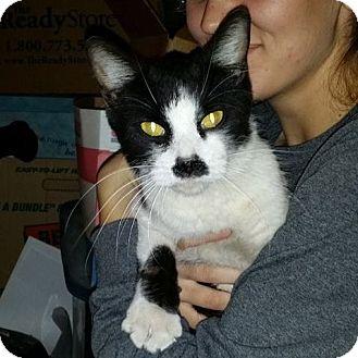 Manx Cat for adoption in Litchfield Park, Arizona - Charley