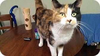 Calico Cat for adoption in Acushnet, Massachusetts - Sunset