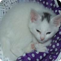 Adopt A Pet :: SNOWBALL - Acme, PA