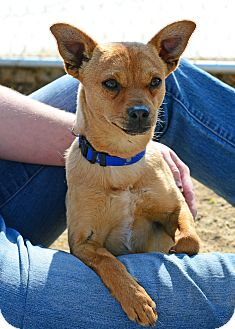 Chihuahua/Dachshund Mix Dog for adoption in Gardnerville, Nevada - Turvey