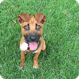Boxer/Labrador Retriever Mix Puppy for adoption in Brattleboro, Vermont - Manny
