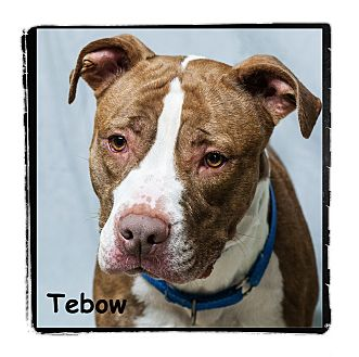 Pit Bull Terrier Dog for adoption in Warren, Pennsylvania - Tebow