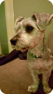 Schnauzer (Miniature) Mix Puppy for adoption in Colmar, Pennsylvania - Henry