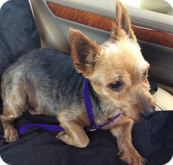 Yorkie, Yorkshire Terrier/Cairn Terrier Mix Dog for adoption in Oakland, Florida - Linda