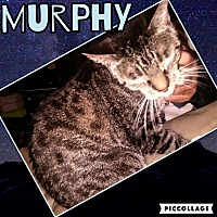 Domestic Shorthair Cat for adoption in Scottsdale, Arizona - Murphy