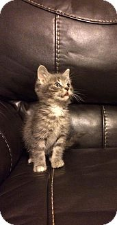 Domestic Shorthair Kitten for adoption in Indianapolis, Indiana - Marco
